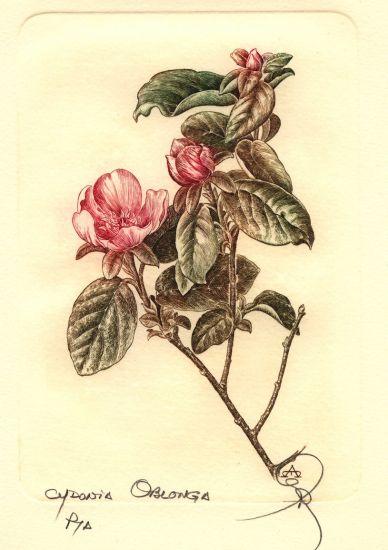 Botanica - Cydonia oblonga Huecograbado