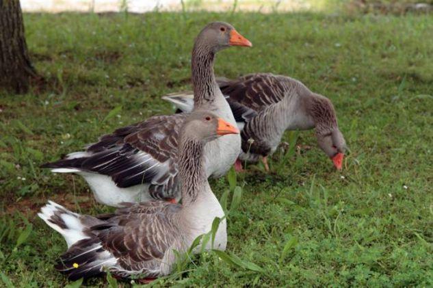 Patos silvestres Color (Digital) Naturaleza