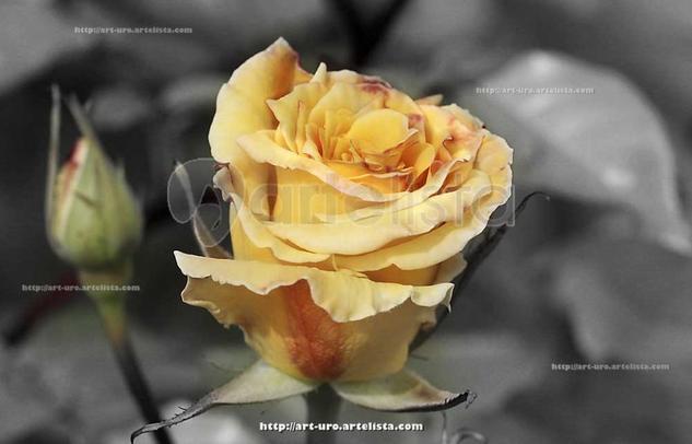 CAPULLO AMARILLO Color (Digital) Otras temáticas