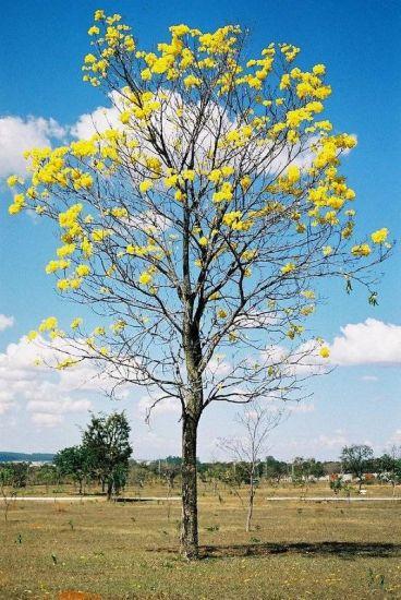 Ipê Amarelo Naturaleza Color (Química)