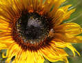 El Girasol