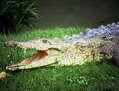 Crocodylus  acutus