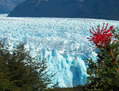 NOTRO EN EL GLACIAR