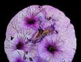Petunias en expansión
