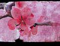 Almendro rosa