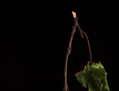 Bodegón de membrillo con tallo