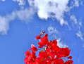 Bugambilias del cielo