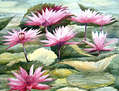 Beauty of Water Lilies
