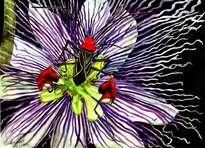 passiflora y anisocelis flavolineata