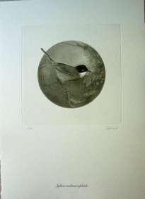 sylvia melanocephala