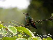 pajarito en las montañas de waslala - nicaragua