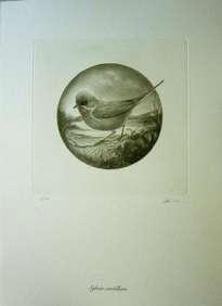 sylvia cantillans