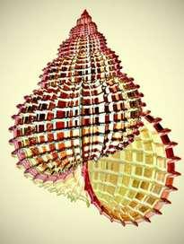 fractal    .  caracola   espinosa