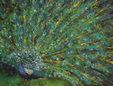 pavo real