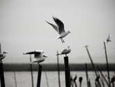 gaviotas