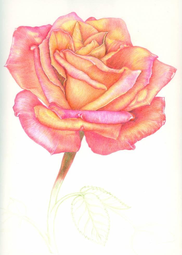 Rosa Dibujo Color 96956 Movieweb