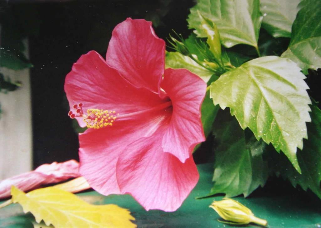 Rosa china jorge meyer - Rosas chinas ...