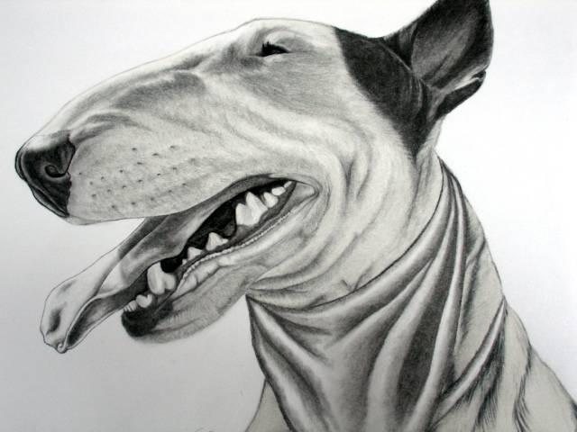 Bull terrier dibujo - Imagui