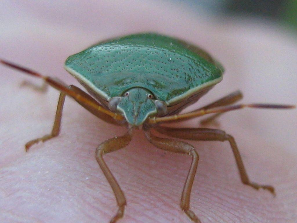 Chinche Verde Nezara Viridula 1 Insectos De Argentina