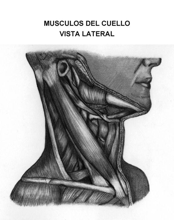 Musculos del cuello vista lateral. JORGE OSWALDO CARRANZA SANCHEZ ...