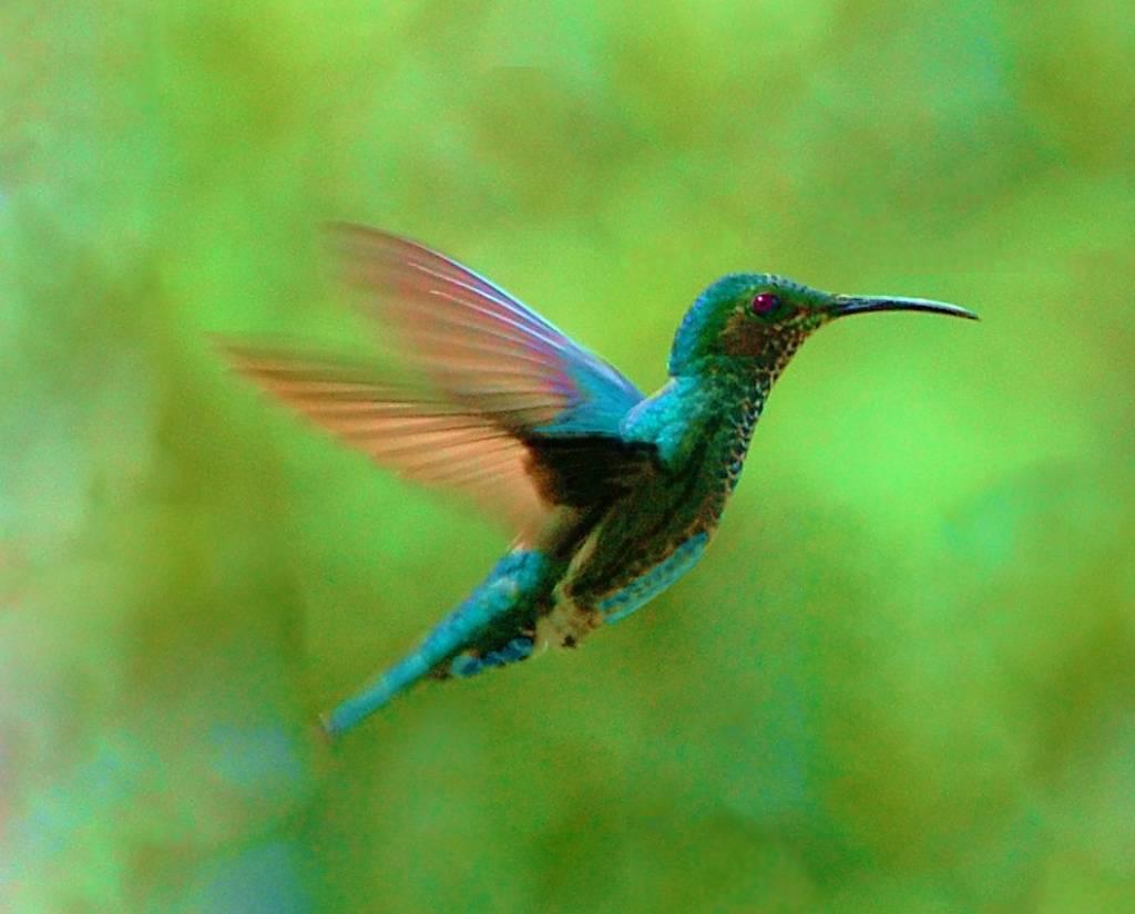 Colibri en vuelo