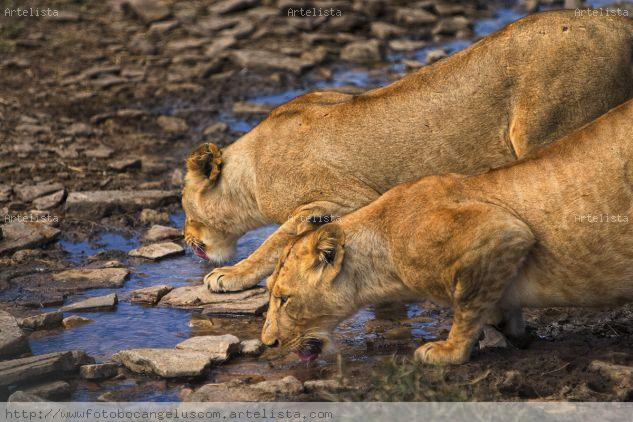 Dos leonas sedientas Color (Digital) Naturaleza