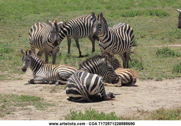 6 Zebras Color (Digital) Naturaleza