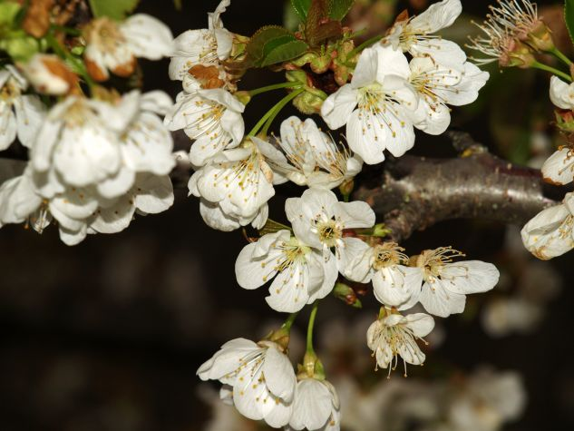 Flor del manzano Naturaleza Color (Digital)