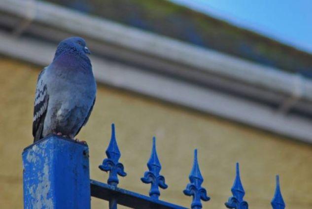 Pigeon Naturaleza Color (Digital)