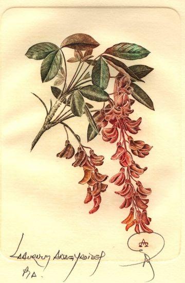Botanica - Laburnum anagyroides Huecograbado