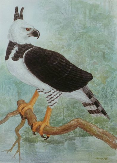 Aguila Harpía Cartulina Acuarela Animales