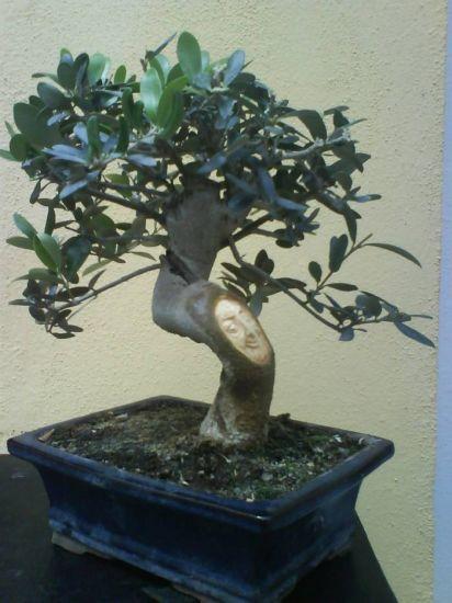 Bonsai de olivo14
