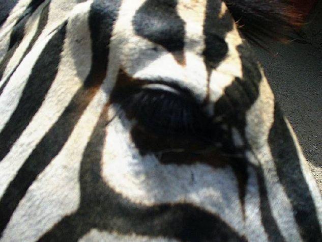 Zebras Eye Naturaleza Color (Digital)