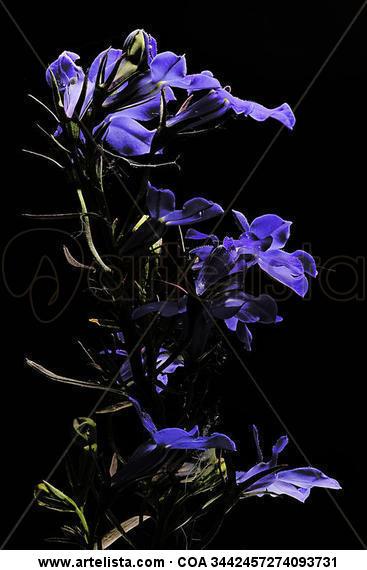 ENRICO PITTON - violetas Color (Digital) Nature