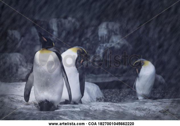 Pingüinos Color (Digital) Naturaleza