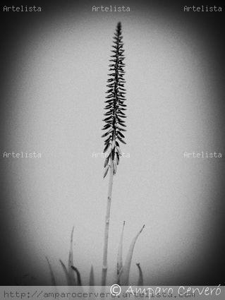 Flor de aloe Naturaleza Blanco y Negro (Digital)