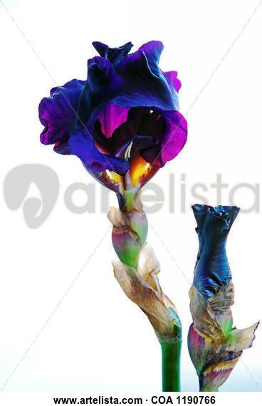 Black Iris Flower with her daughter Bodegones Color (Digital)