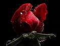 ENRICO PITTON - red rose