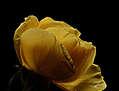 ENRICO PITTON - poesia amarillo