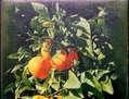 Naranjas al Sol