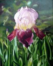 iris rojo oscuro   red deep iris