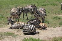 6 zebras
