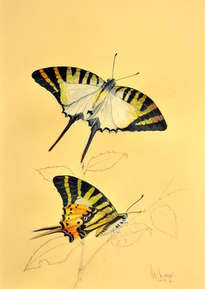 papillon n° 3.