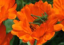 Calendula officinalis viridi ac lucusta singula / Calendula officinalis con saltamontes verde