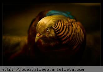 Faisan - Jose A Gallego Poveda - artelista.com