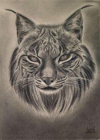 lince ibérico. iberian lynx