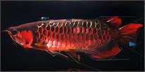 arawana roja