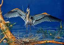 Nidification de heron