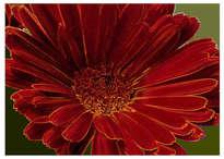 calendula officinalis / Caléndula