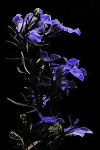 enrico pitton - violetas